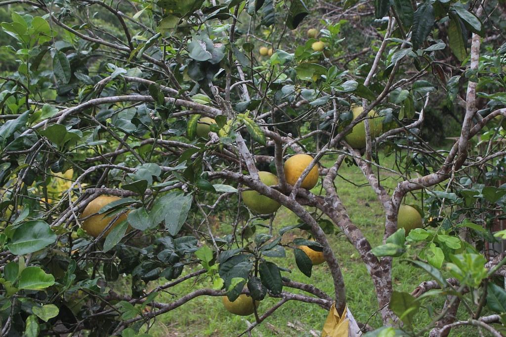 草生栽培的果園,既能兼顧人類生計,也提供野生物棲息活動的空間,功能多多。圖為示意圖。攝影:廖靜蕙。