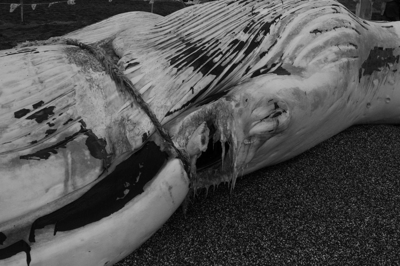 綠色繩索纏繞的部位,繩索將巨鯨的皮肉切開。