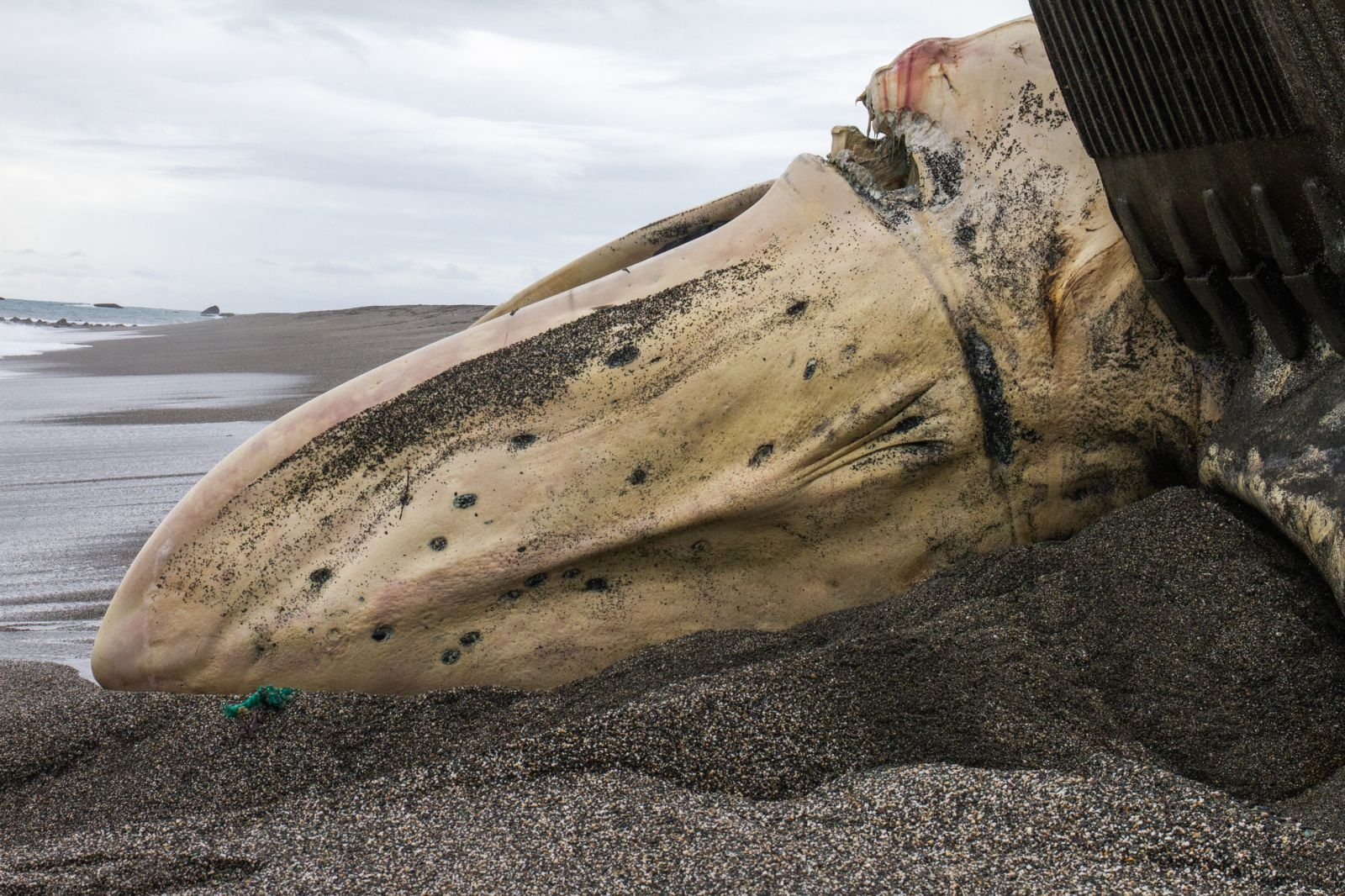 藍鯨上顎清楚可見的繩索勒痕。