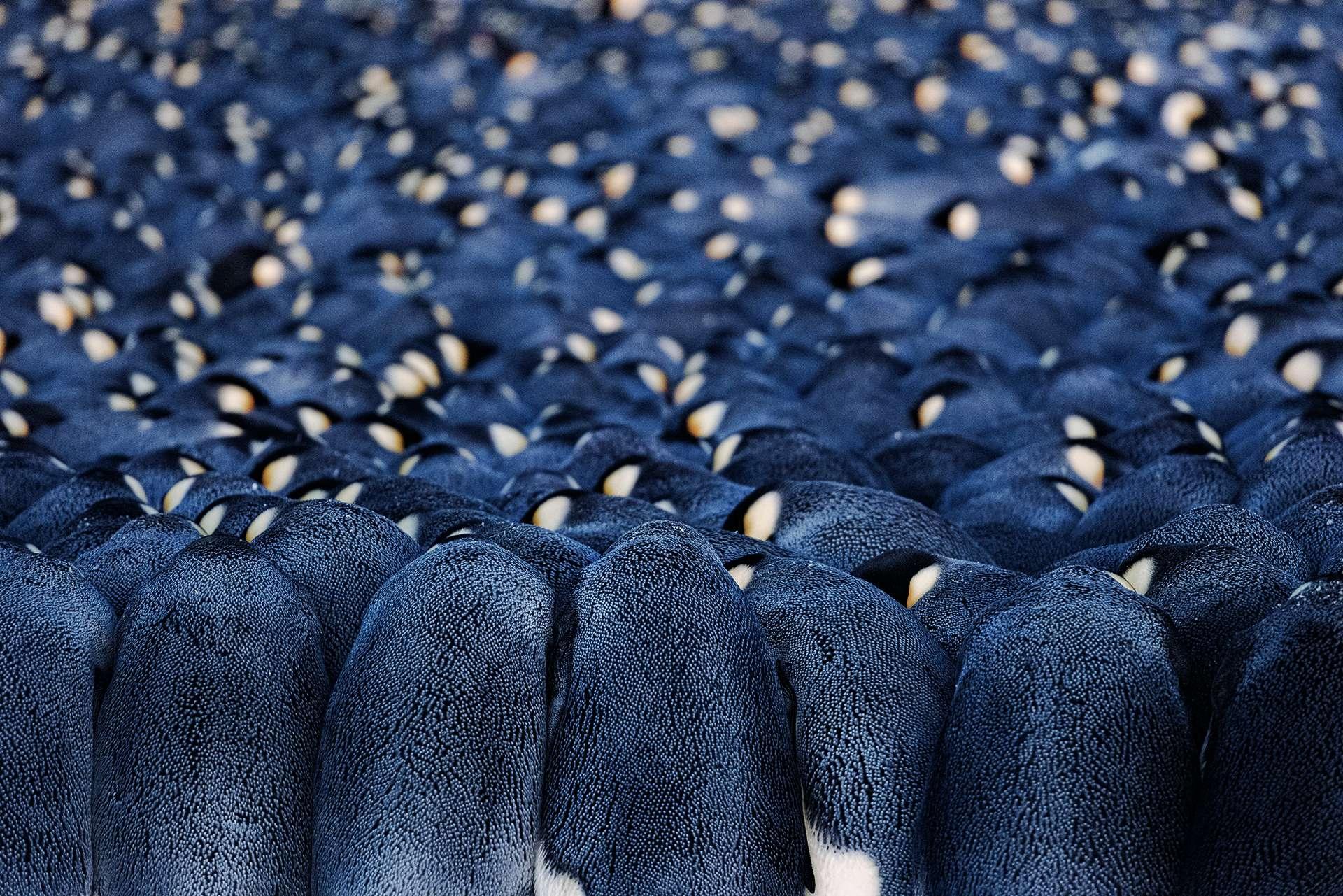 阿卡特灣的皇帝企鵝群,雄企鵝擠在一起度過長達兩個月的極夜,每一隻企鵝腳上都有一個蛋。雌企鵝在交配產卵後已回到大海覓食。雄企鵝緊緊擠成一團,有時分開時會飄著熱氣,彷彿剛從蒸氣浴走出來一樣。 PHOTO: STEFAN CHRISTMANN