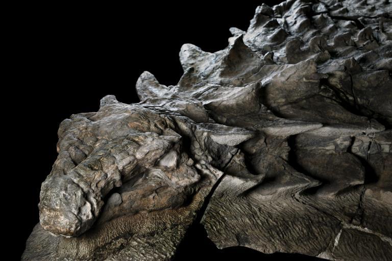 北方盾龍享用完最後一餐過了幾小時以後,這隻恐龍不知為何被沖刷入海。牠被埋在現今亞伯達省東北部的海底沉積岩中,牠的鎧甲──還有牠胃中的內容物──的精緻細節因此得以保存。PHOTOGRAPH BY ROBERT CLARK, NAT GEO IMAGE COLLECTION