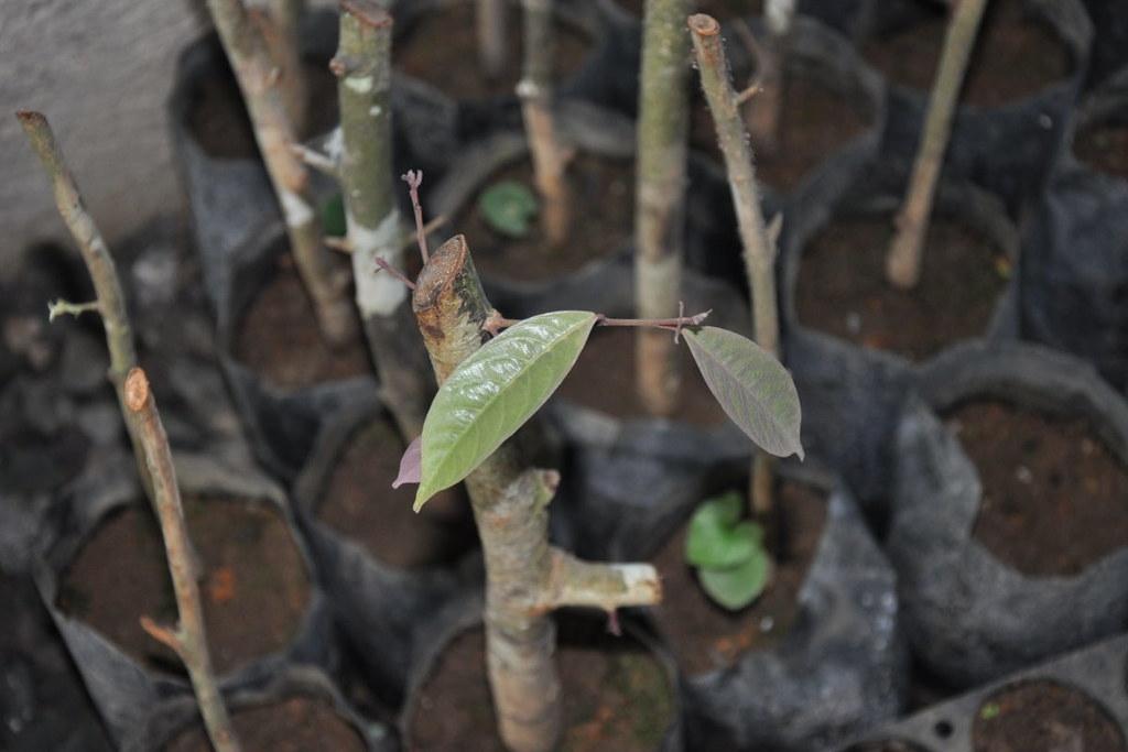 橢圓葉青梅樹苗。圖片來源:EDC