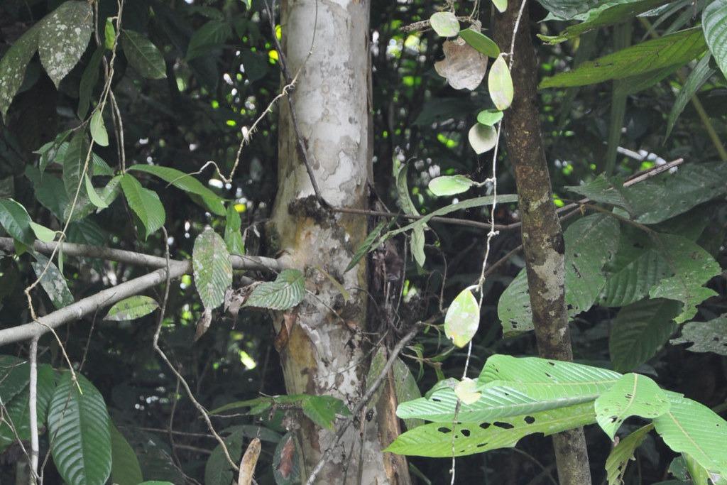 2015年,EDC團隊在三寶顏錫布格省重新發現橢圓葉青梅。圖片來源:EDC