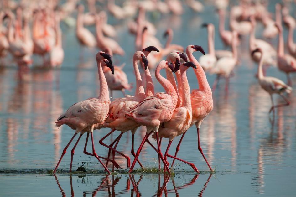 小紅鶴雄鳥在肯亞納庫魯湖(Lake Nakuru)展現自己。這些動物有時會為食物互相打鬥,愈粉紅的紅鶴愈常有這種傾向。PHOTOGRAPH BY DENIS HUOT, NATURE PICTURE LIBRARY