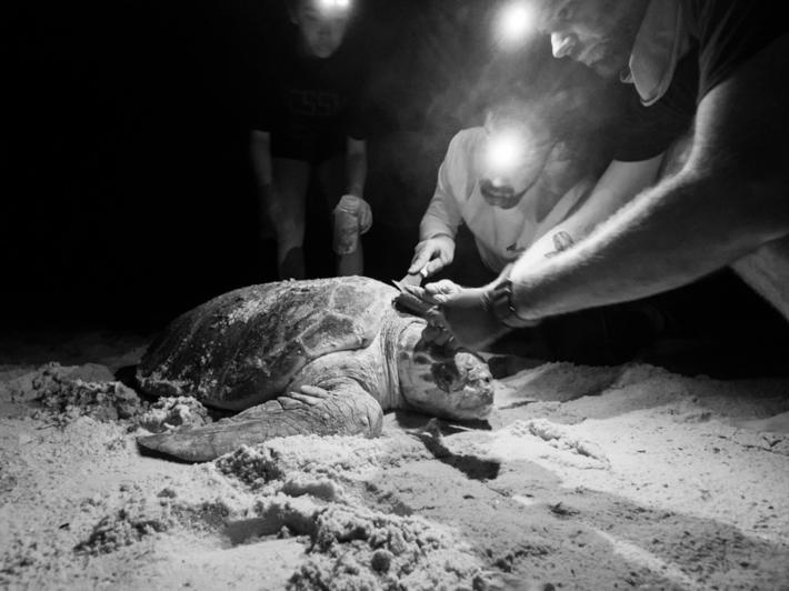 研究人員從一隻赤蠵龜龜殼上採集為小動物。這張照片攝於研究活動期間,該研究獲得佛羅裡達州魚類與野生動物保育委員會的許可,前提是不能傷害赤蠵龜──正常情況下,搬動或觸摸海龜是違法的。這張照片是在紅光下拍攝──這對動物的傷害較小──並於後製處理時轉為黑白。PHOTOGRAPH BY DR. MATTHEW WARE