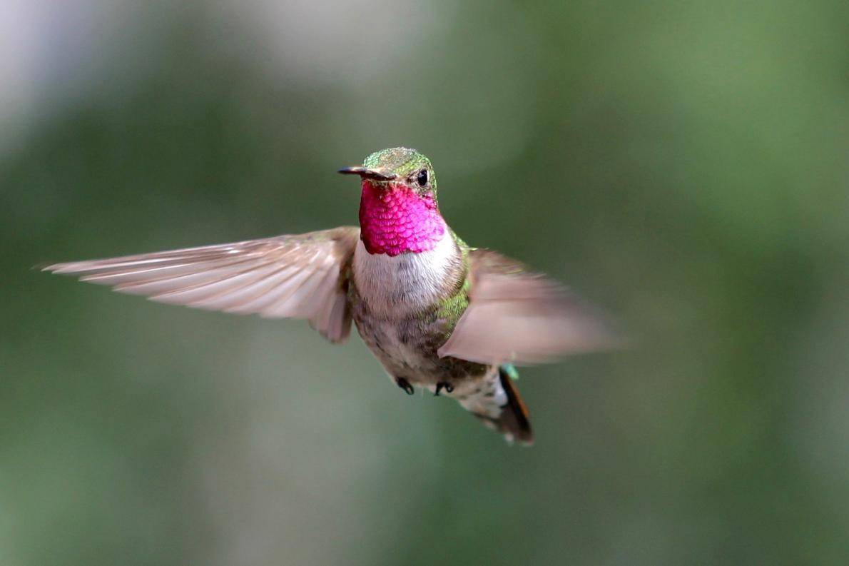 一隻雄性寬尾煌蜂鳥在科羅拉多州飛翔──這是色覺實驗的一部份。PHOTOGRAPH BY NOAH WHITEMAN, UNIVERSITY OF CALIFORNIA, BERKELEY