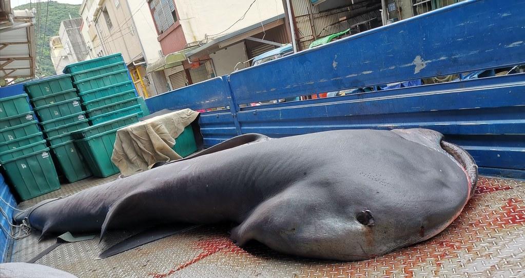 每年春天為了覓食經過臺灣東部外海的巨口鯊,是漁船撈捕的對象,在族群數量不明下,環保團體要求農、海兩會拿出保育對策。圖片來源:漁業署