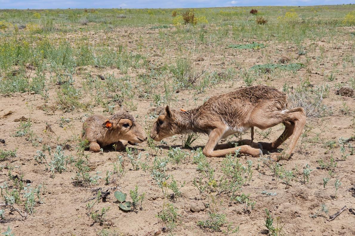 今年春天有超過500隻小羊在哈薩克的烏斯秋爾特高原出生,照片為其中兩隻蜷縮在草叢裡的小羊。PHOTOGRAPH BY BAKHTIYAR TAIKENOV / AСBK