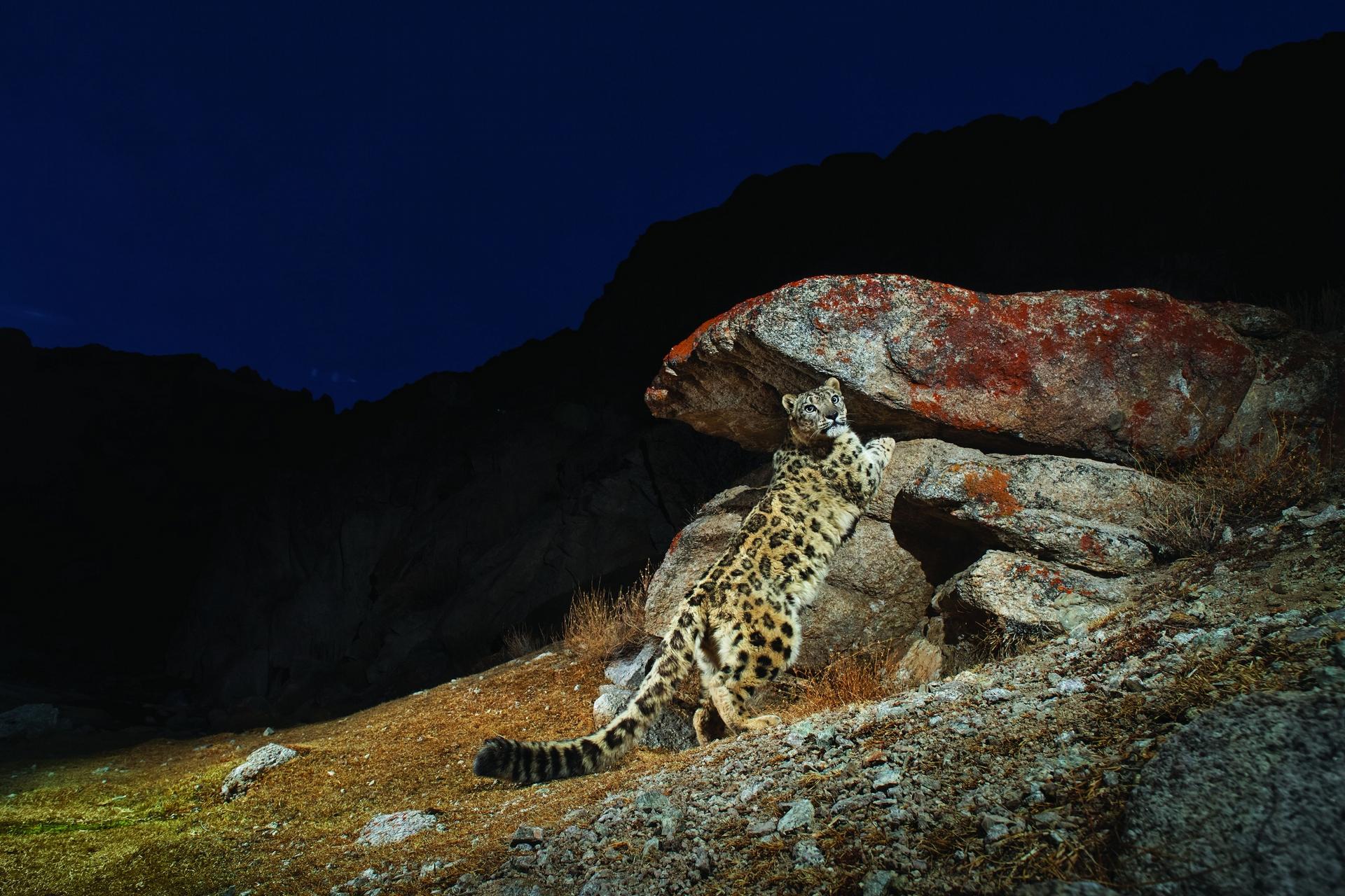 在印度拉達克地區,一隻雄雪豹正在標記自己的領域。這些貓科動物會噴尿、留下抓痕、並在岩石上磨擦臉部腺體來宣示牠們的存在。雪豹與牠們親緣最近的老虎不同,無法吼叫。但牠們會哈氣、喵喵叫、低吼以及發出嘶嘶聲。SANDESH KADUR