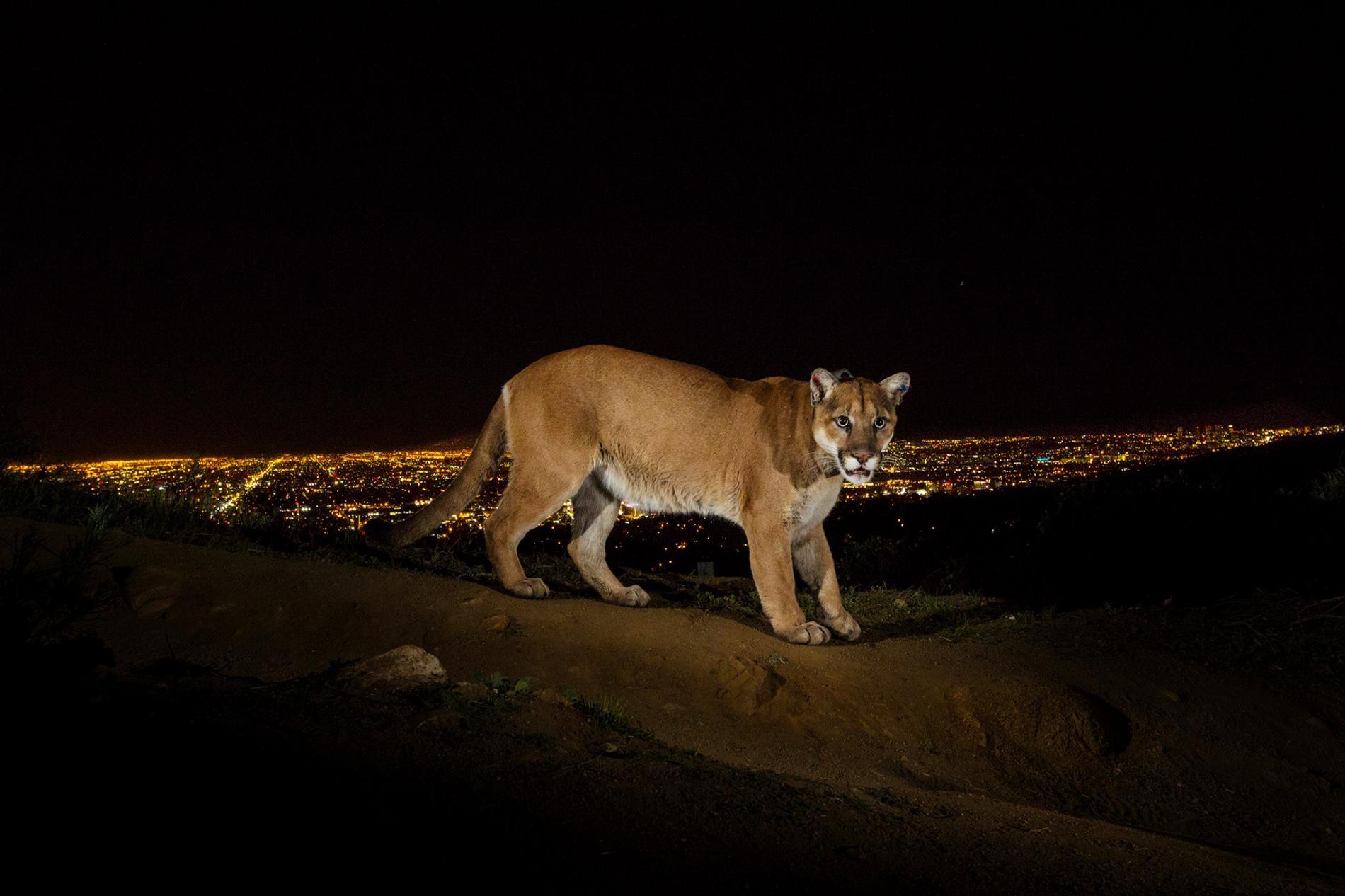 遙控相機在加州格里斐斯公園(Griffith Park)拍到了一隻戴著無線電波項圈的山獅。加州的山獅棲息在被幾條大公路切得七零八落得環境中。PHOTOGRAPH BY STEVE WINTER, NAT GEO IMAGE COLLECTION