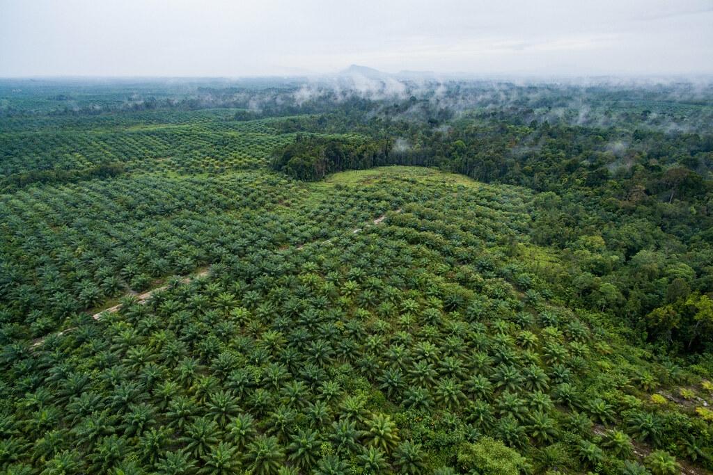 印尼的熱帶森林遭砍伐後,改為單一作物——棕櫚樹。照片來源:CIFOR(CC BY-NC-ND 2.0)