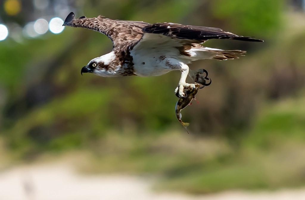 全世界許多地方都可發現魚鷹蹤跡,但英國60%的魚鷹在繁殖前就因漁網纏繞和撞擊電線而死。照片來源:texaus1(CC BY 2.0)