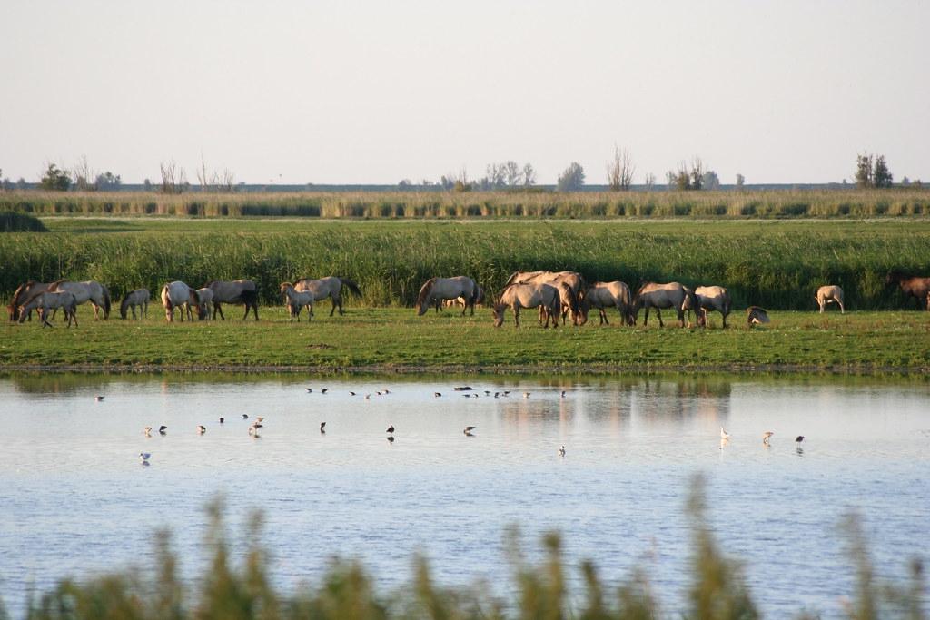 荷蘭阿姆斯特丹東部的阿爾梅勒保護區(Oostvaardersplassen)。照片來源:維基百科(CC BY-SA 3.0)