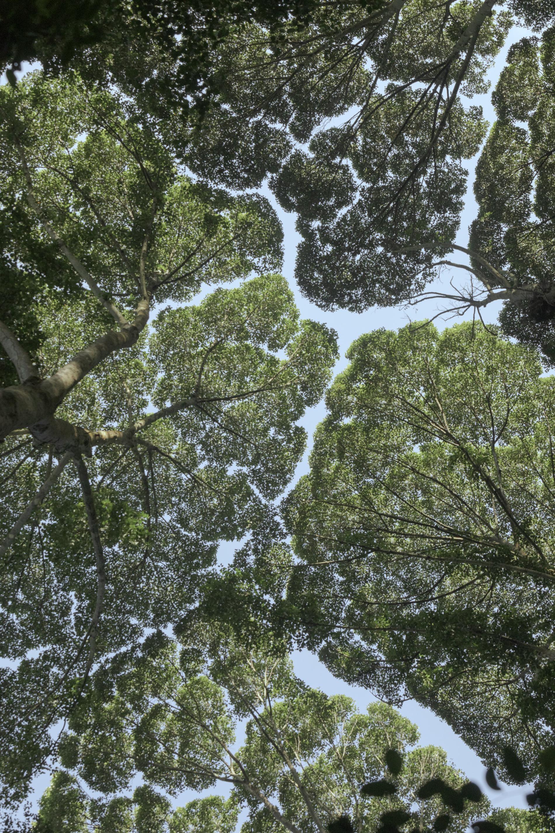 馬來西亞森林研究所(Forest Research Institute Malaysia)的龍腦香樹林展現出「樹冠羞避」的現象,也就是一些樹種的樹冠間會出現一些空隙以防止樹枝互相碰觸,形成像渠道一般的空隙。PHOTOGRAPH BY IAN TEH, NATIONAL GEOGRAPHIC