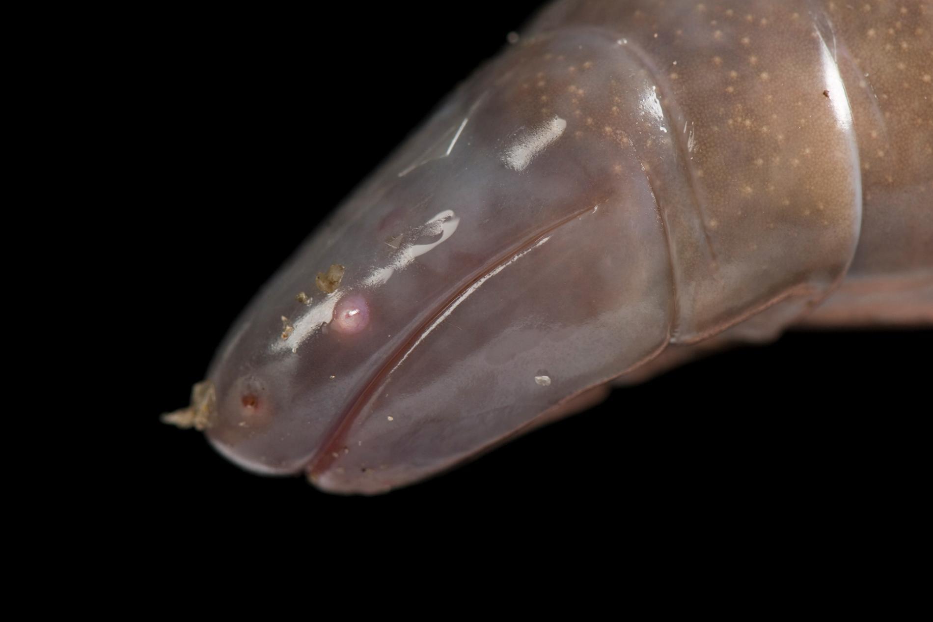 蚓螈是地下兩生類,已知有200種,而墨西哥蚓螈(Dermophis mexicanus,上圖是一隻飼養在密蘇里州聖路易斯動物園的個體)即為其中一種。PHOTOGRAPH BY JOEL SARTORE, NATIONAL GEOGRAPHIC PHOTO ARK