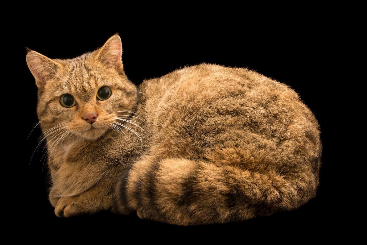 歐洲野貓(圖為義大利自然野生動物園[Parco Natura Viva]的個體)曾於7000年前在波蘭跟近東野貓共享棲地。PHOTOGRAPH BY JOEL SATORE, NATIONAL GEOGRAPHIC PHOTO ARK