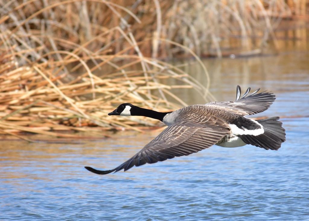 加拿大雁透過引入來到西歐,並威脅了當地的生物多樣性。照片來源:Tom Koerner/USFWS(CC BY 2.0)