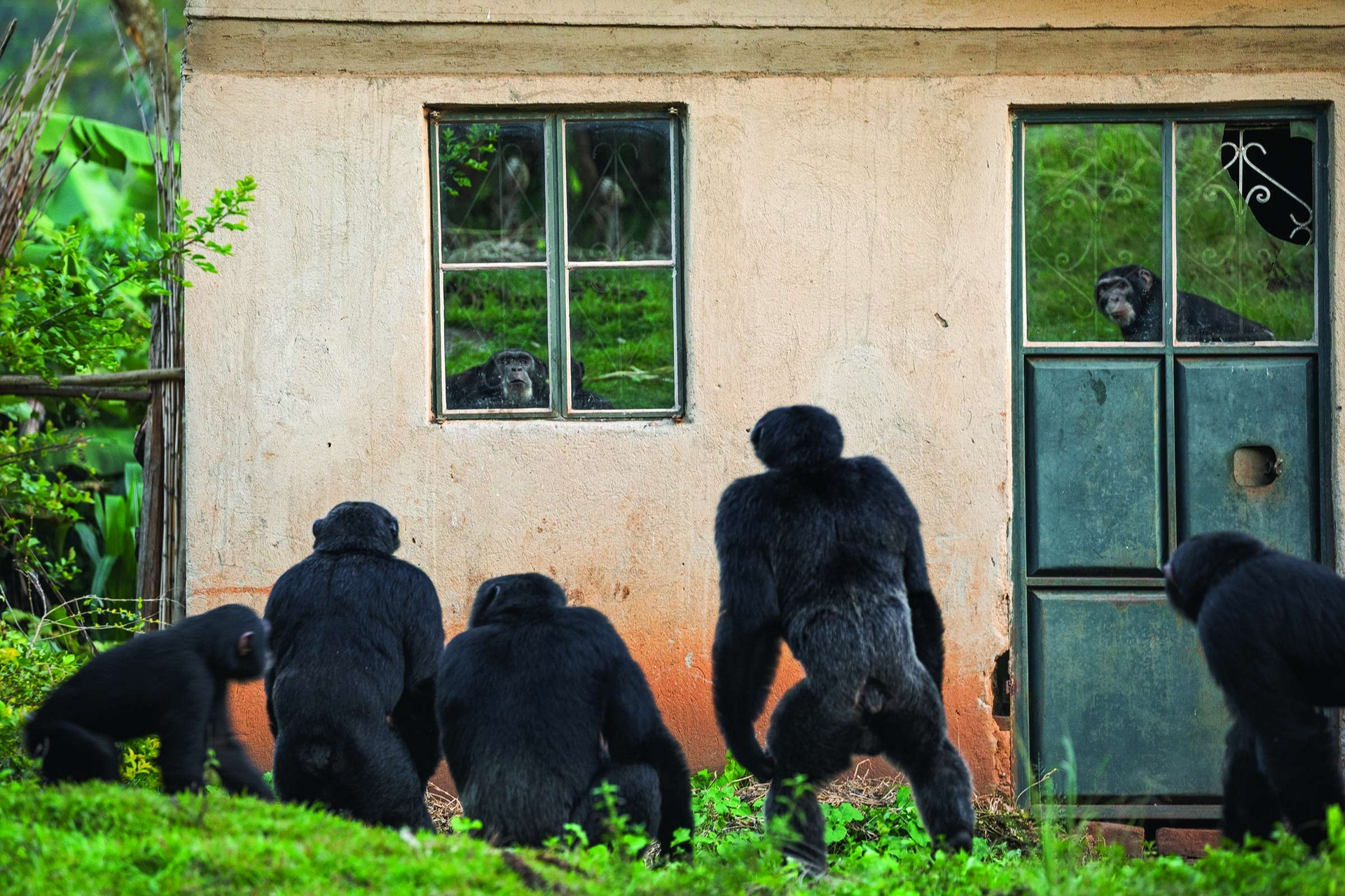 2014年7月,有隻黑猩猩在奇亞馬亞卡殺死了名叫慕朱尼.賽馬塔的幼兒。這家人遷走後,黑猩猩仍然留在村裡──甚至會在賽馬塔家空蕩蕩的屋子外面,盯著窗戶上自己的倒影。 PHOTO: RONAN DONOVAN