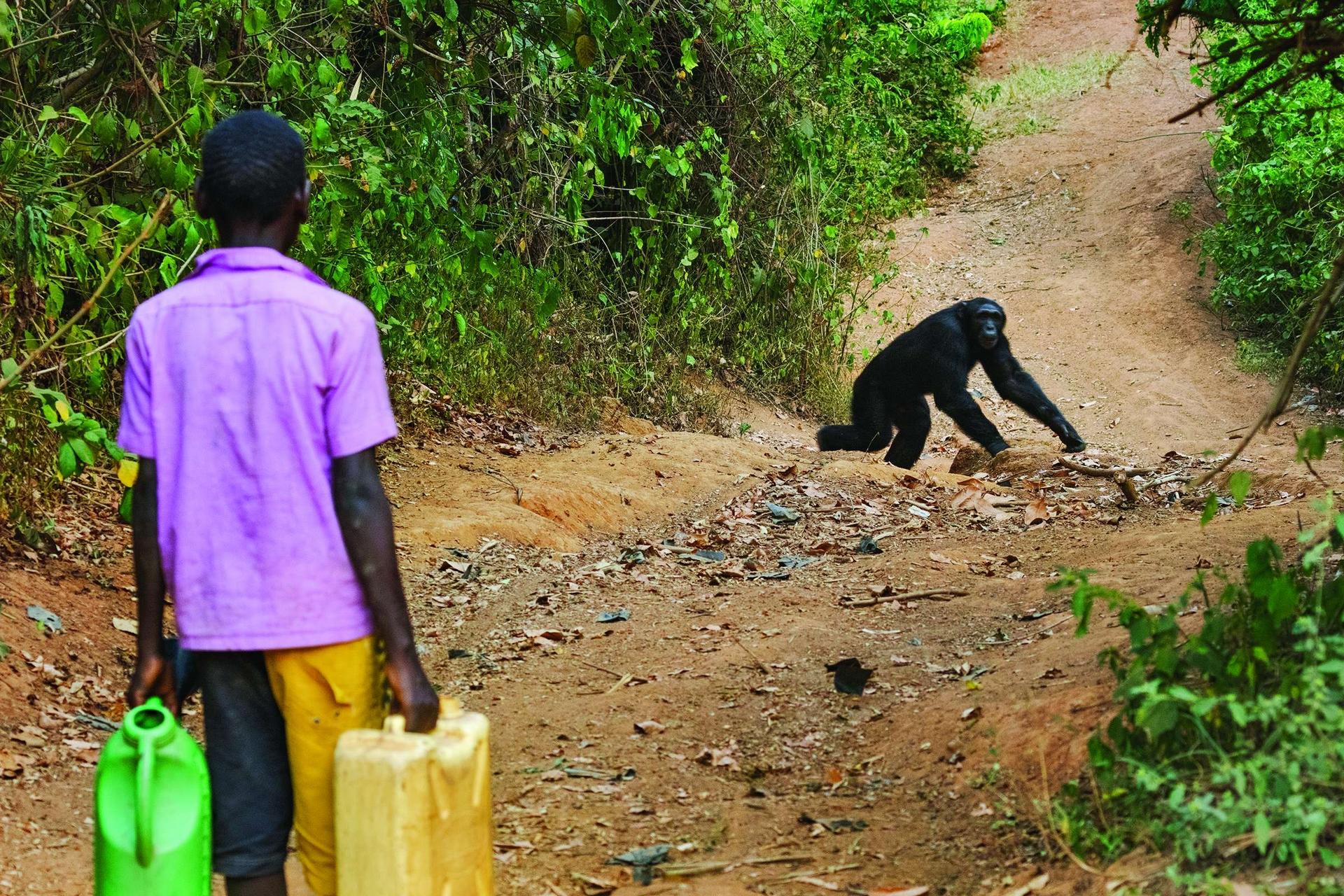 在姆帕拉加西村附近,打水的男孩在一隻黑猩猩經過時停下腳步。在烏干達西部,小群黑猩猩生活在僅存的小片森林中。由於少了野生食物,牠們在農作物與果樹間覓食,為了食物、空間和生存與人類競爭。 PHOTO: RONAN DONOVAN