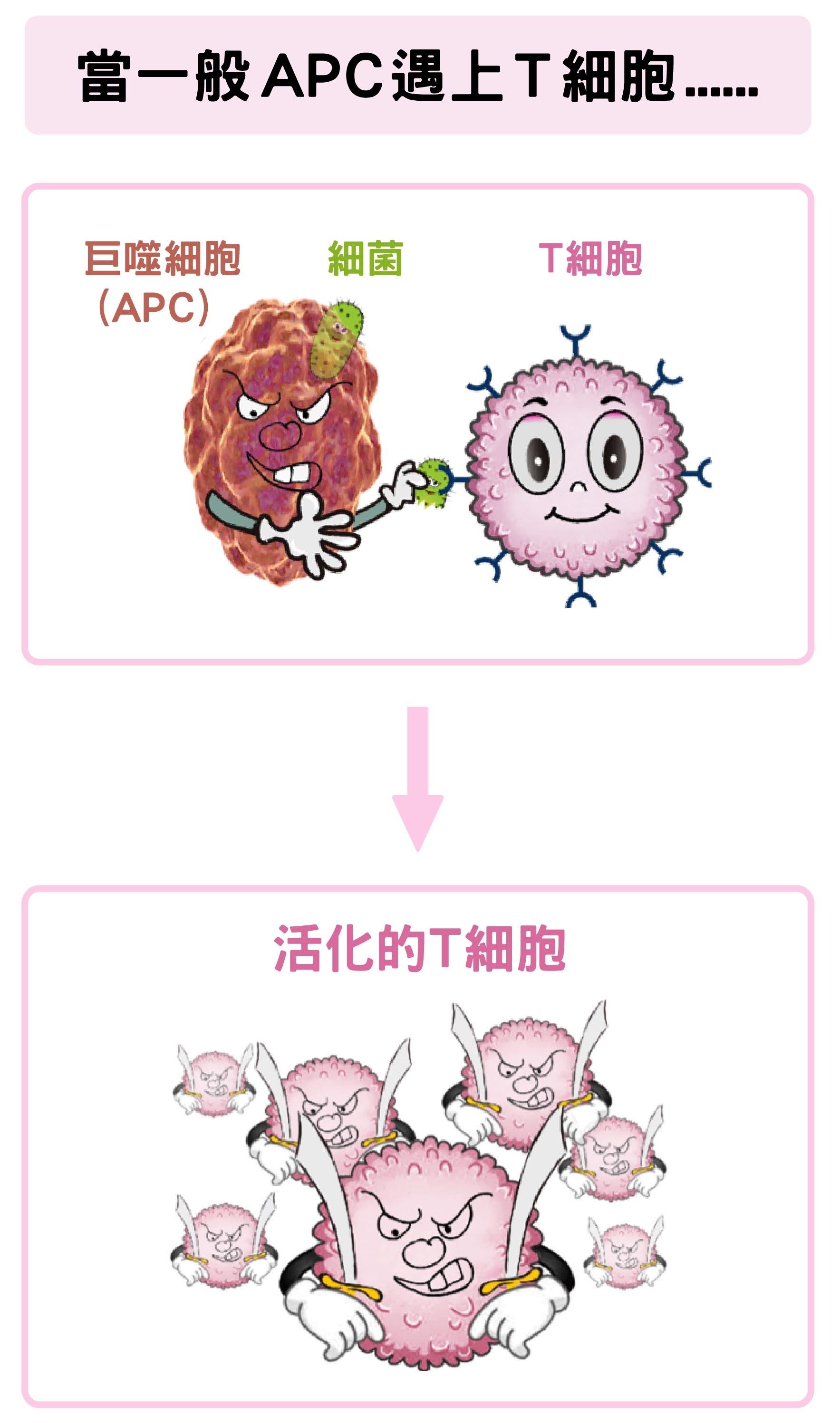 巨噬細胞(APC)吞噬細菌後,可活化T細胞。 資料來源│陶秘華 圖說原作│張峰碧 圖說美化│林洵安