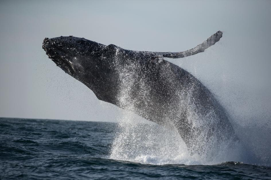 一隻座頭鯨躍出加州蒙特利灣(Monterey Bay)溫暖的海域。PHOTOGRAPH BY PAUL NICKLEN, NAT GEO IMAGE COLLECTION