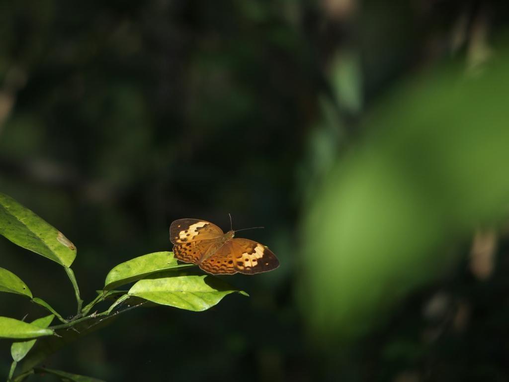 到哪裡、什麼時候有機會看到黃襟蛺蝶?不妨到台灣生物多樣性網絡(TBN)來找資料!攝影:柯智仁;特生中心提供
