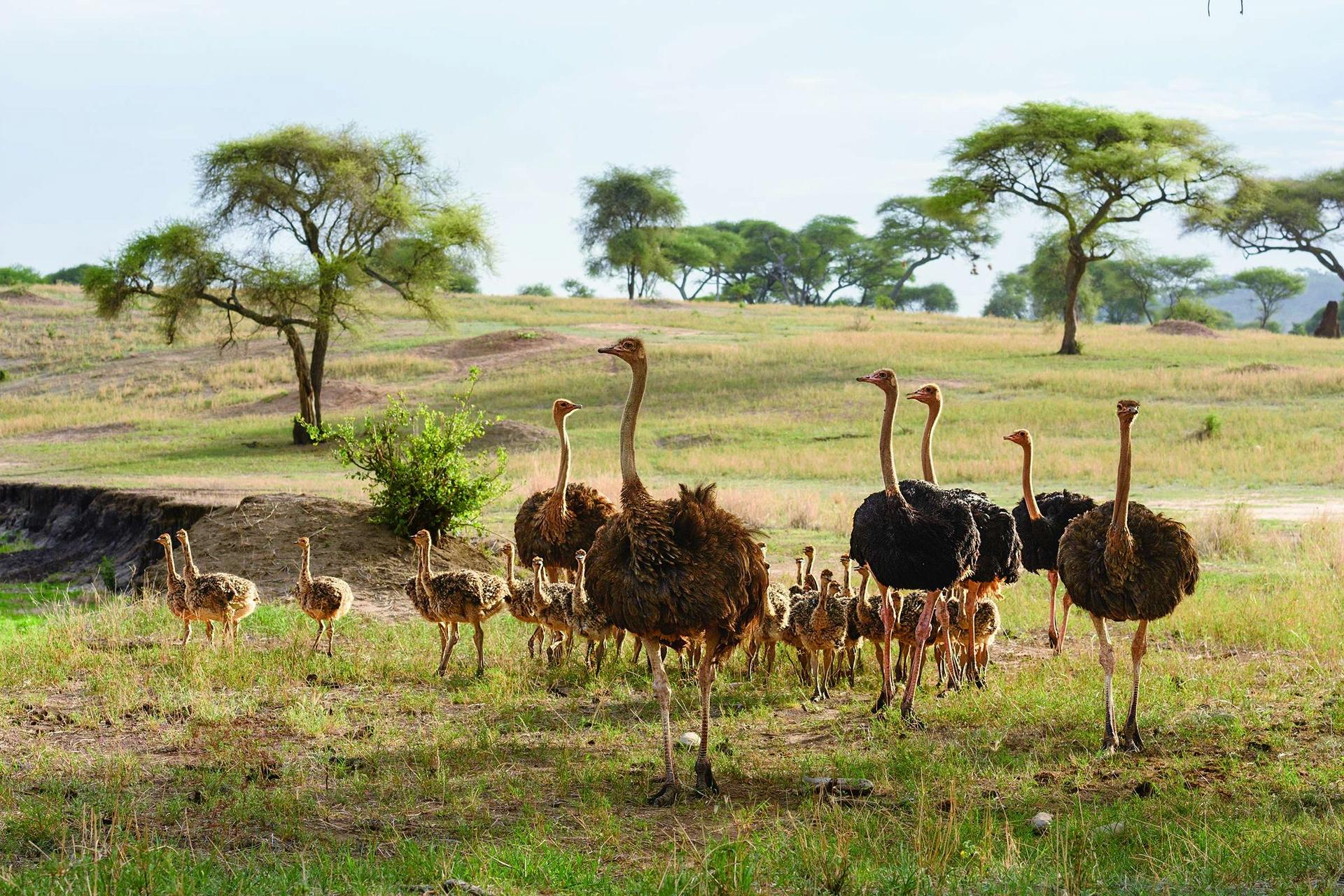 坦尚尼亞的塔蘭吉雷國家公園裡,三隻母駝鳥(黃褐色羽毛)、三隻公駝鳥(黑色羽毛)和42隻幼鳥密切留意是否有胡狼與其他掠食者出沒。在共同的巢裡孵化的幼鳥會待在一起長達一、兩年。Photo by KLAUS NIGGE(克勞斯.尼格)