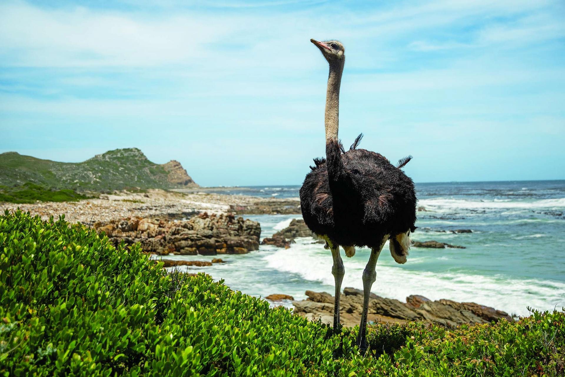 一隻公鴕鳥昂首站在非洲的南端,環顧好望角附近的海岸。這種地球上最大的鳥類可以長到2.75公尺高和135公斤重,多數人對牠們的印象都是瘦長且滑稽──但是這種鳥可不是敵人容易下手的目標。Photo by KLAUS NIGGE(克勞斯.尼格)