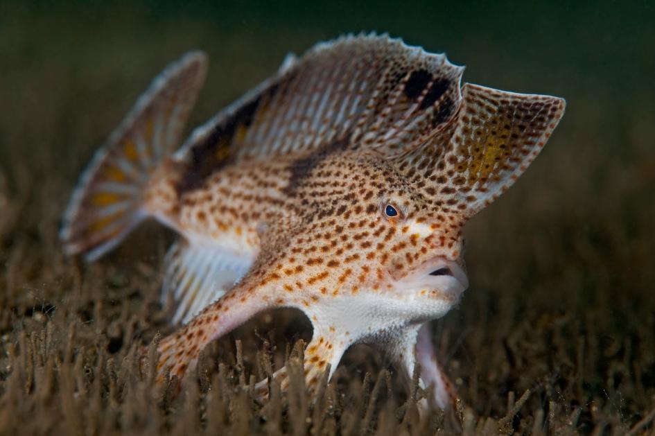 生活在塔斯馬尼亞州荷伯特市德文特河(Derwent River)河口的粗體臂鉤躄魚(Brachionichthys hirsutus),因水質暖化與汙染而極度瀕危。牠的近緣物種──單翼合鰭躄魚(Sympterichthys unipennis),才在5月被宣告滅絕。PHOTOGRAPH BY ALEX MUSTARD, MINDEN PICTURES