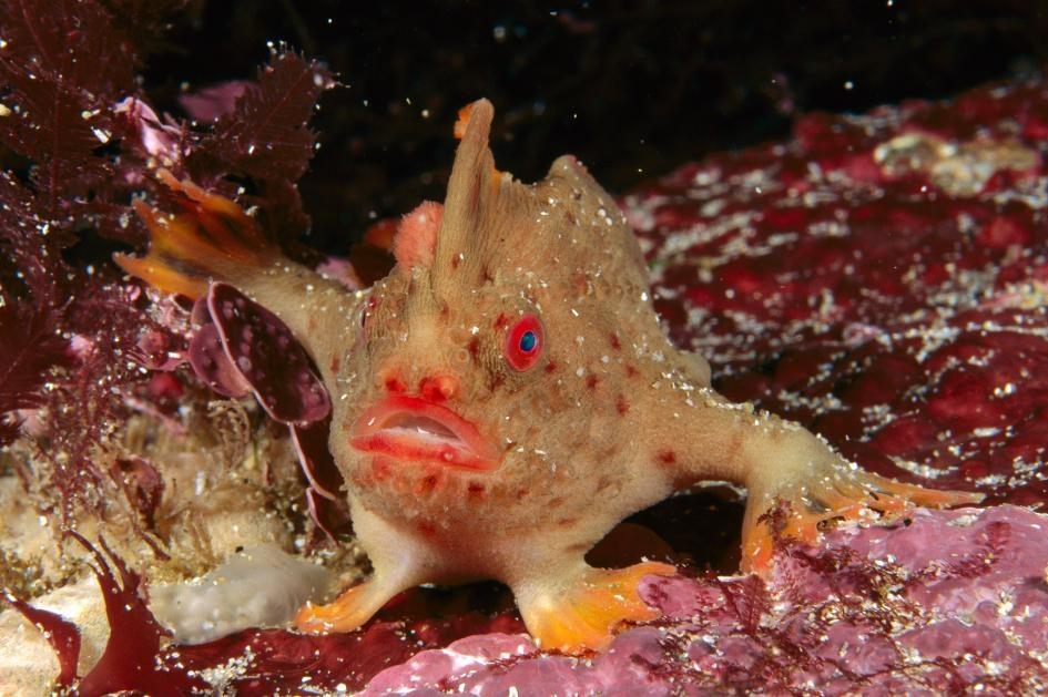 目前在野外僅存兩個小族群的紅疣躄魚(Thymichthys politus,又稱红合鳍躄鱼),也如同其他臂鉤躄魚一樣,有著特化的胸鰭能在海底「行走」。PHOTOGRAPH BY FRED BAVENDAM, MINDEN PICTURES