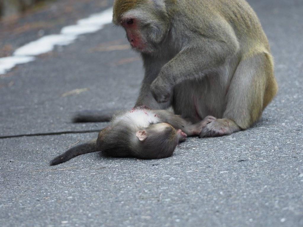8月21日石山停車場至界碑群,發生獼猴路殺事件。照片來源:玉管處