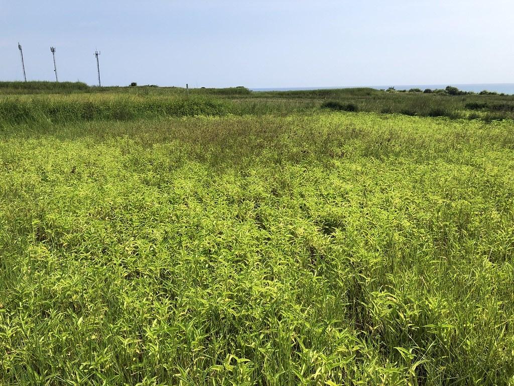 水甕菜田區隨著水稻收成任務暫歇,不過半島田區因增加一項作物,生物多樣性更豐富。<br>攝影:廖靜蕙