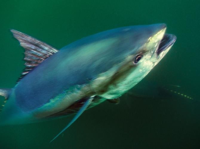 影像藝廊:魚中之王