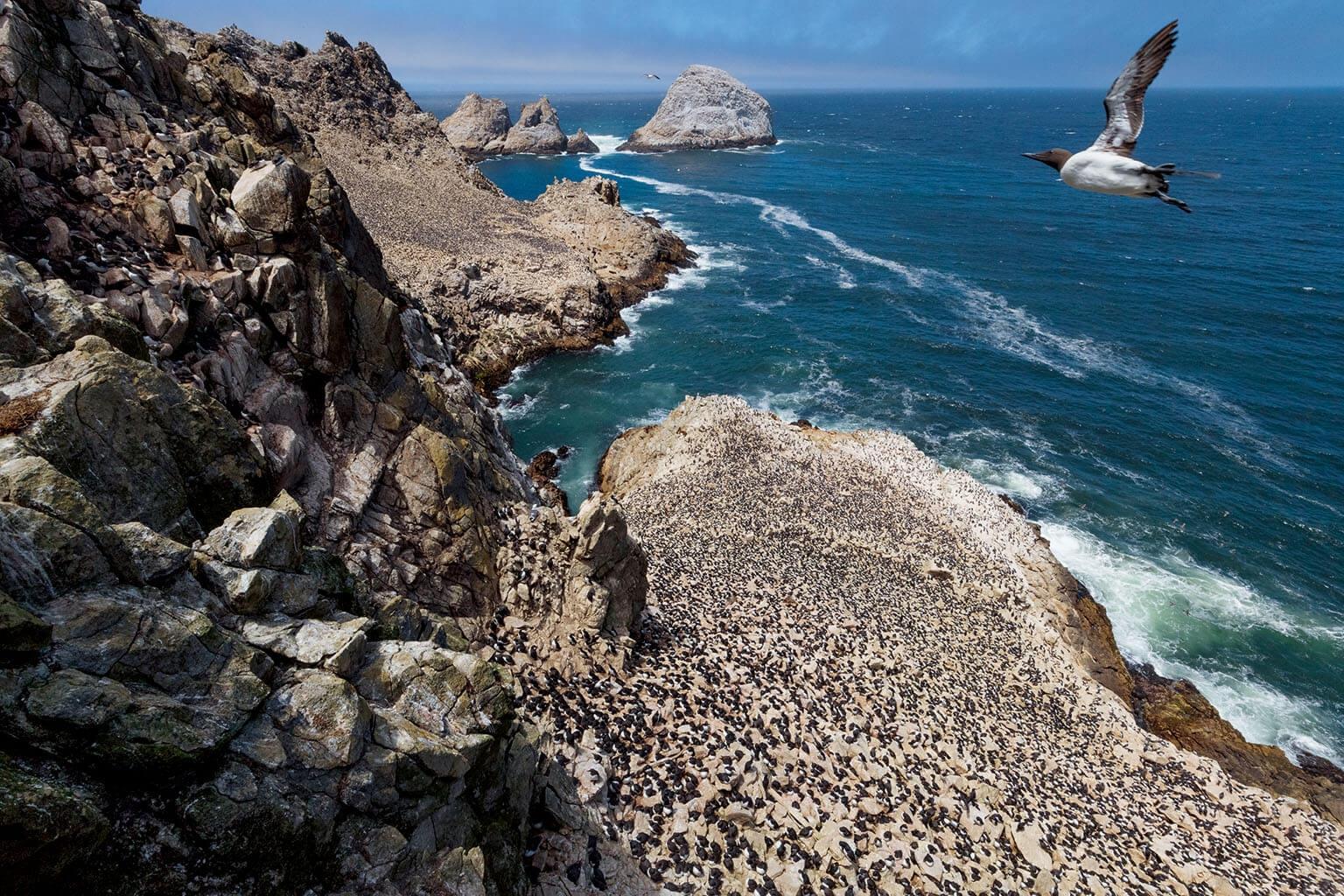 在加州外海的法拉榮群島,一隻崖海鴉飛翔在數千隻正在孵蛋和照料幼鳥的海鴉上空。19世紀時,供應舊金山市場的鳥蛋獵人幾乎摧毀了這裡的海鴉族群;1980年代早期,流刺網捕漁法又讓這個族群的數量再次崩潰,因為大型魚網除了捕撈到目標魚種外,也網住了海鳥和其他野生動物。1980年代中期開始限制或禁止使用流刺網,讓法拉榮的海鴉生機再現。