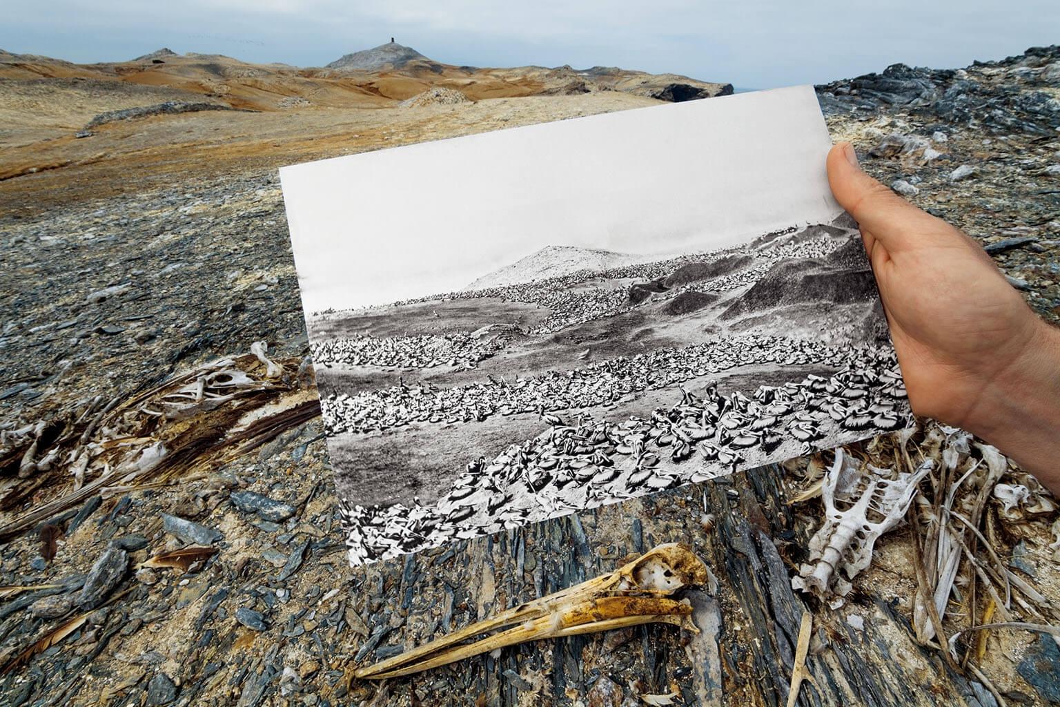 在祕魯的外洛波斯群島,1907年的照片顯示祕魯鵜鶘在此有一個繁殖群體,2017年在同一地點則呈現骨骸散落一地的景象,這一個世紀之間的落差,來自採收鳥糞石、過度漁撈,以及近期的氣候變遷。飢餓加上聖嬰現象帶來的降雨,可能造成前一個繁殖季的大部分幼雛死亡。