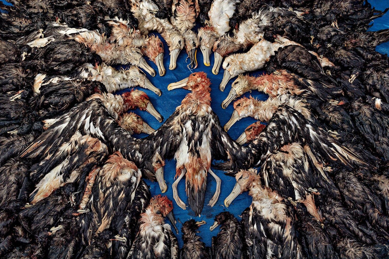 漁船為海鳥提供豐富的食物,但也是這些信天翁和白頦風鸌(外圍的黑色鳥類)的致命陷阱,這些鳥兒是2017年在南非外海被鮪延繩釣繩勾到的。在永續漁業措施下,如今每年在南非外海被誤捕的鳥類只有數百隻。然而以全球而言,光是死於延繩釣繩的海鳥就超過30萬隻。