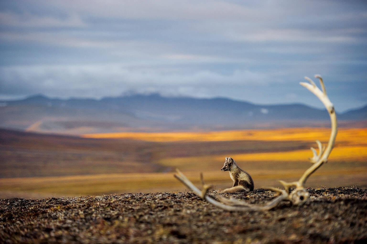 楚克奇海的夫蘭格爾島上,夕陽餘暉照在被馴鹿角框住的小北極狐身上。俄羅斯擁有105個「札波維尼」,也就是所有人類造訪都受到嚴格管制的「嚴格自然保護區」,夫蘭格爾島即是其中之一。