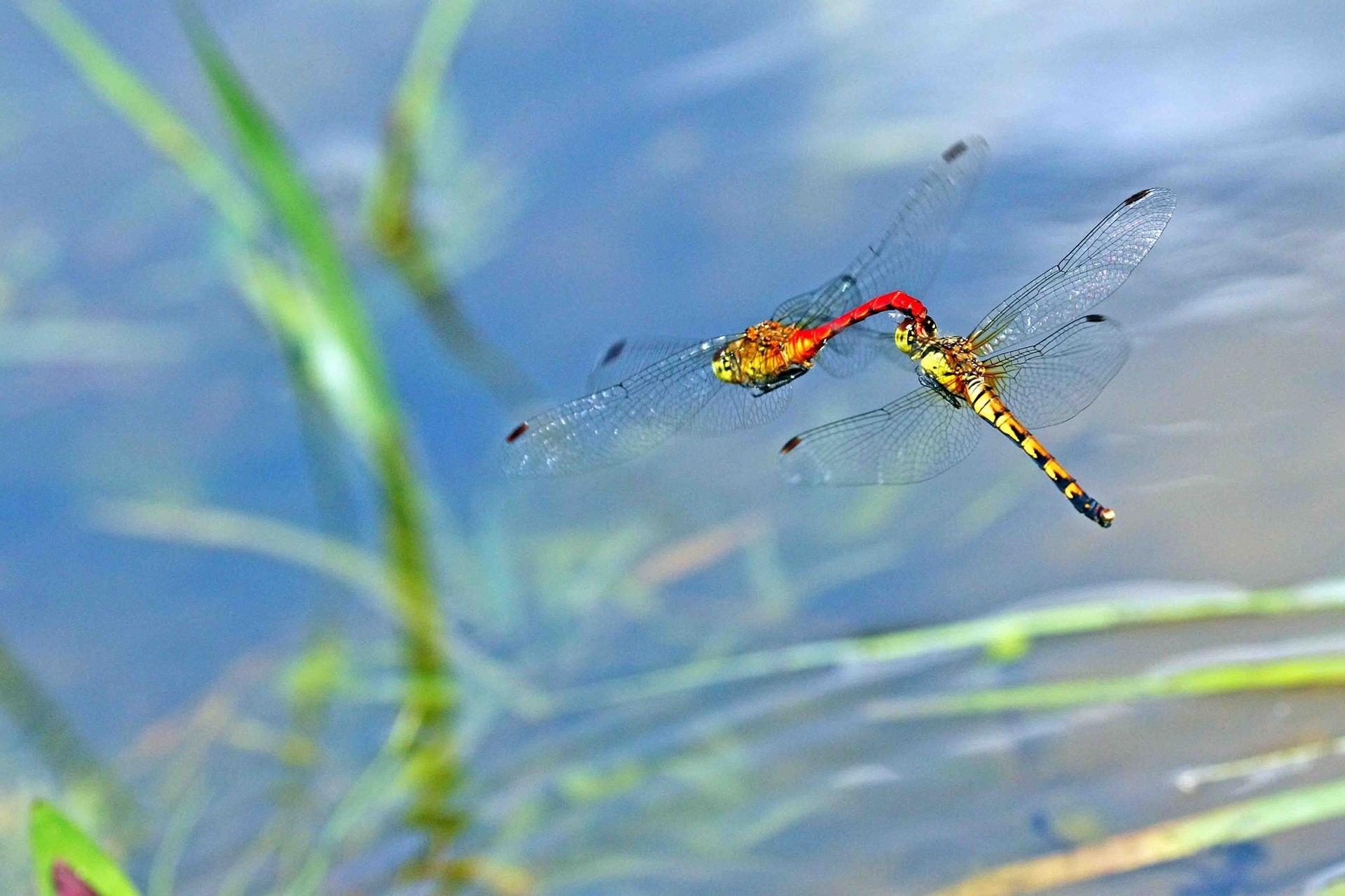 【華人探險家專欄 ─ 徐仁修】當蜻蜓勾搭、豆娘集體結婚