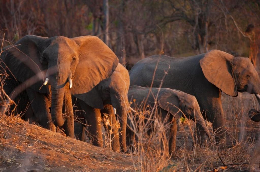 獵殺更多大象真能有助於拯救牠們?