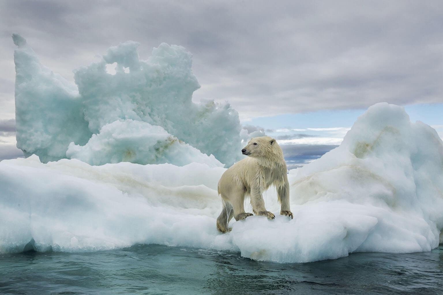 一隻渾身溼淋淋的北極熊爬上哈得遜灣最北端的一塊浮冰。北極熊會在海冰上伏擊浮出水面的海豹──這是北極熊90%的熱量來源。國家地理學會駐會探險家安立克.薩拉正努力推動保存北極熊日漸減少的一部分棲地。「我們曾在俄羅斯發現困在小島上,以草與海鳥為食的北極熊。」薩拉說。 PAUL SOUDERS