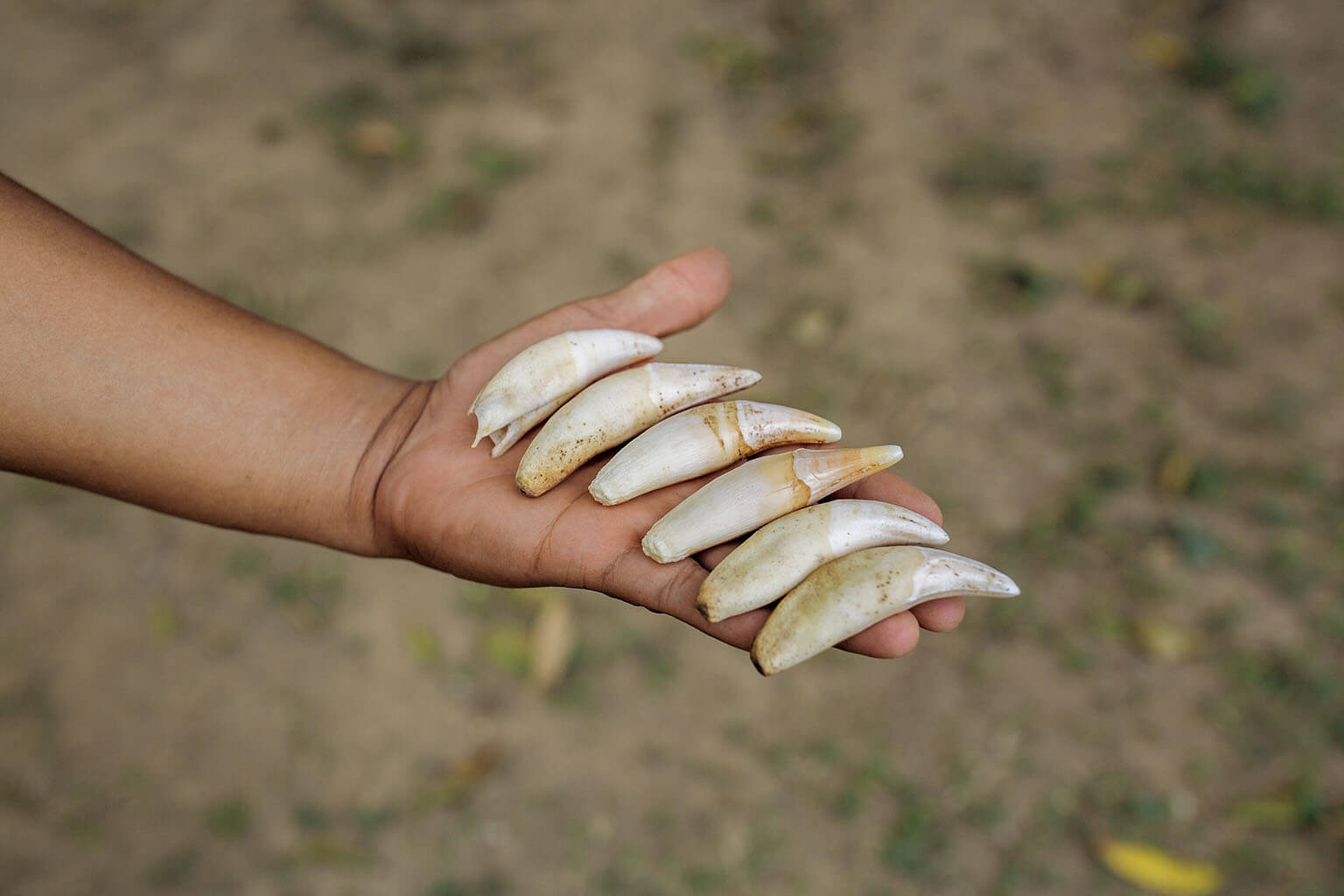 在中國,美洲豹的牙齒可能是老虎牙齒的替代品,它們被做成項鍊戴在身上,象徵身分地位,或者為配戴者消災解厄。 攝影:克里斯欽.羅德里奎茲 CHRISTIAN RODRIGUEZ