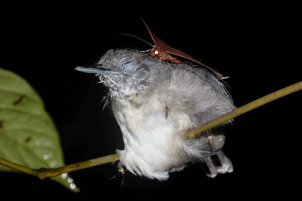 這些蛾會喝睡著鳥兒的淚水