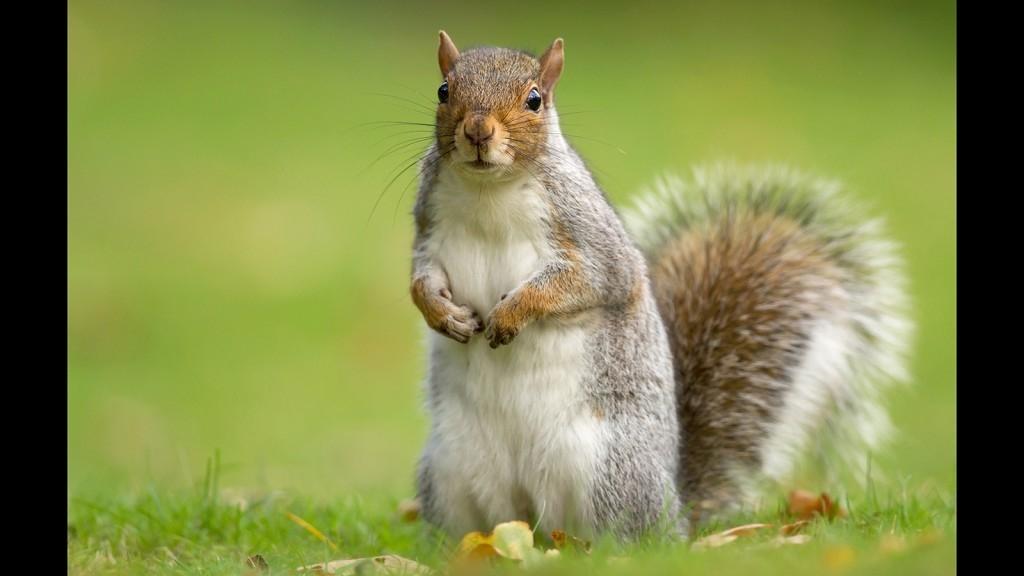 【動物好朋友】灰松鼠(Eastern Gray Squirrel)