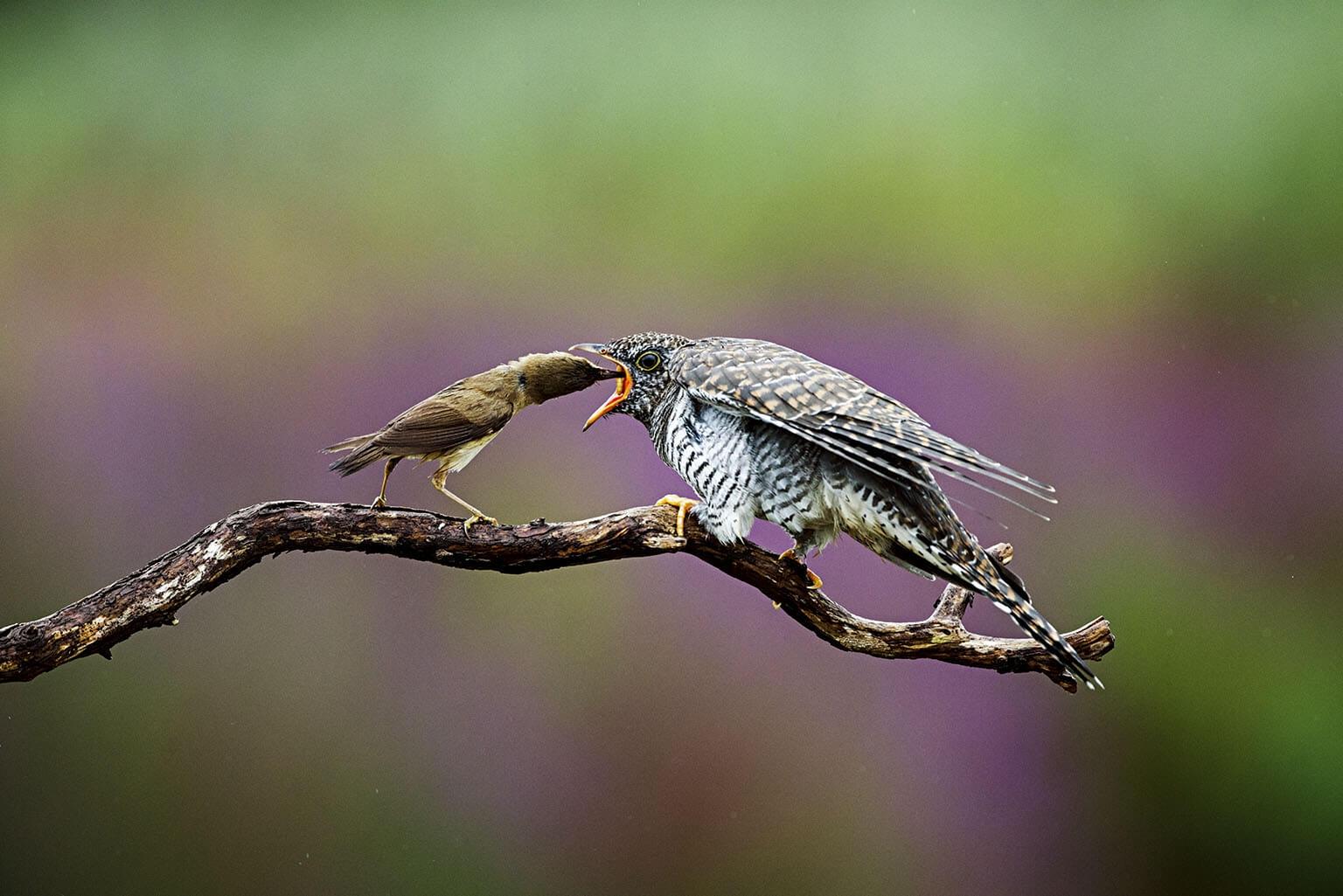 蘆葦鶯(左)正在餵食一隻大杜鵑幼鳥。這隻大杜鵑幼鳥在30天之內從3公克長到了90公克――將近蘆葦鶯的八倍重。PHOTO: FRANKA SLOTHOUBER