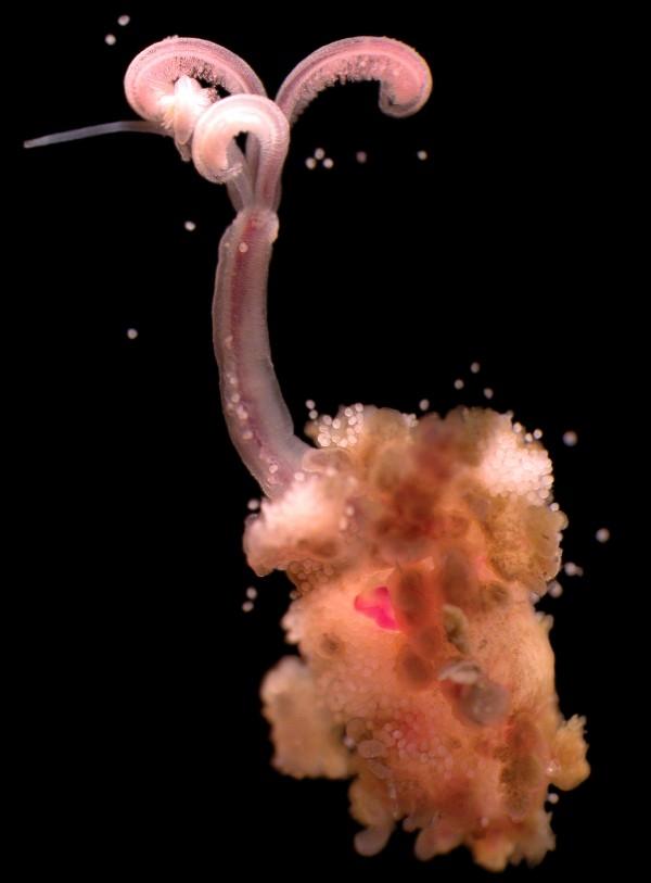 食骨蟲交配祕辛:陰莖長在頭頂上