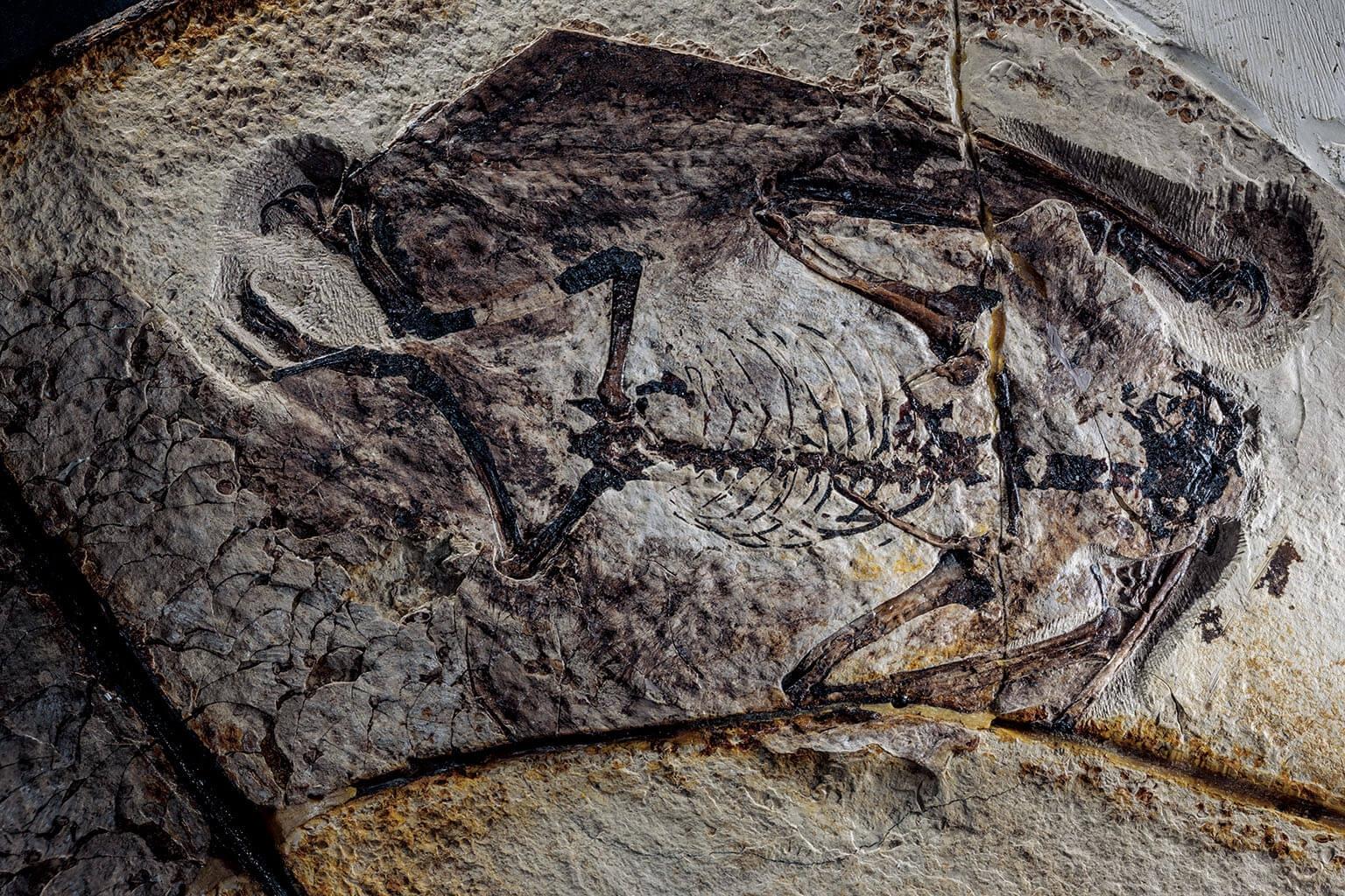 照片中的是在中國發現的熱河翼龍(Jeholopterus)化石,上面幾處有類似軟毛的纖維留下的細微壓痕。具有隔熱效果的細毛,顯示晚期的翼龍也許是溫血動物。 INSTITUTE OF VERTEBRATE PALEONTOLOGY AND PALEOANTHROPOLOGY, BEIJING 攝影:羅伯特.克拉克 Robert Clark