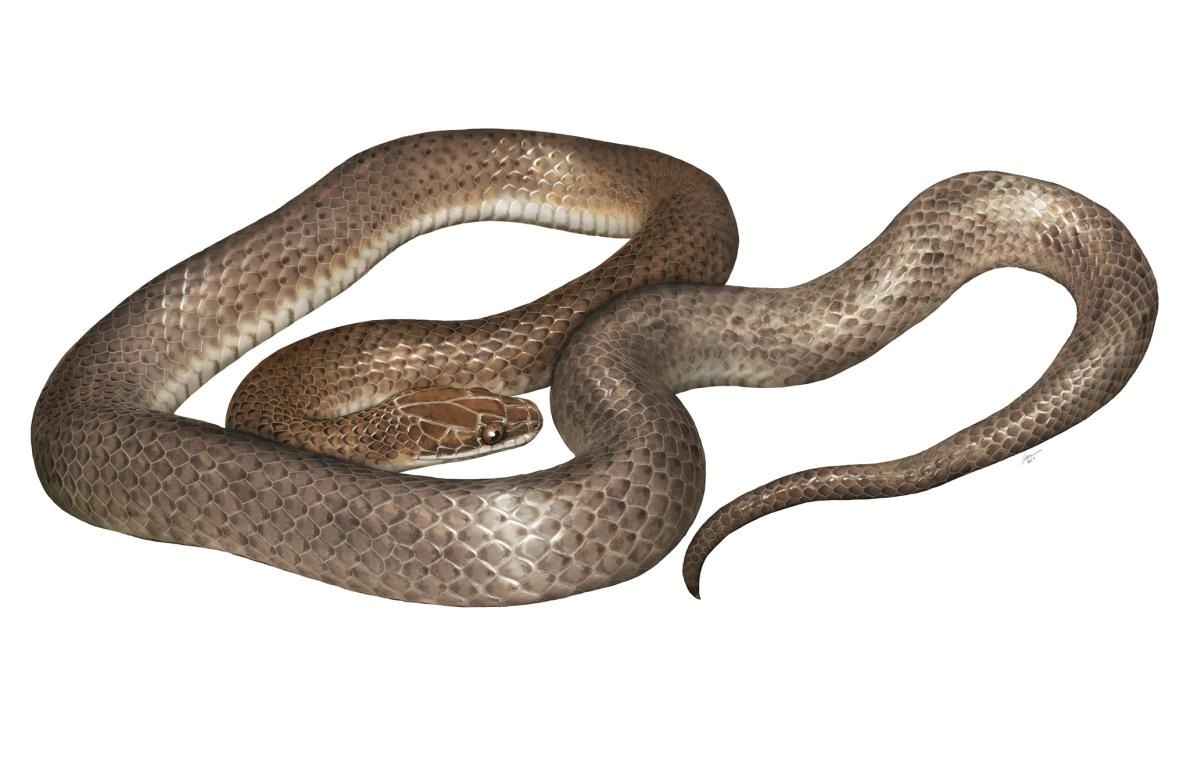 一位藝術家描繪出新發現的蛇類「<i>Cenaspis aenigma</i>」,意為「神祕晚餐蛇」。ILLUSTRATION BY GABRIEL UGUETO