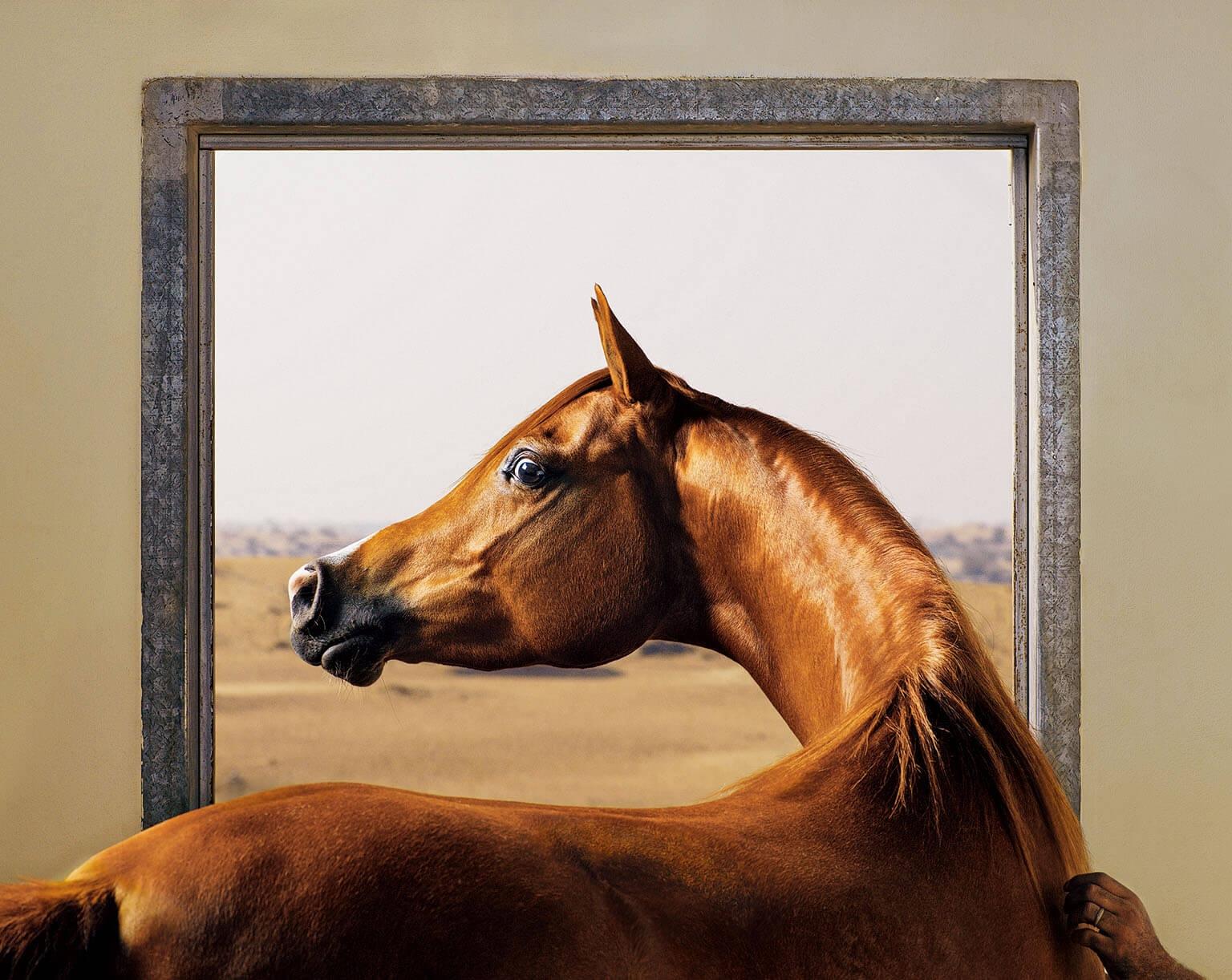 在阿拉伯聯合大公國,一隻阿拉伯馬環顧牠的馬廄。馬是視覺動物──牠們的視力比貓和狗好──並且演化出可使家族團結的溝通技巧。PHOTO: TIM FLACH