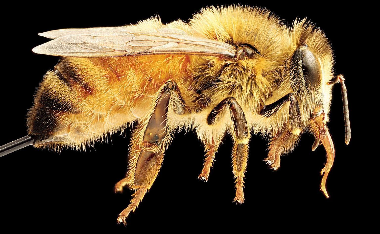 西方蜜蜂(Apis mellifera,上)是歐洲、中東和非洲的原生物種。這種蜜蜂如今是北美最受矚目的蜂種之一,不過健康狀況堪慮。PHOTO: USGS BEE INVENTORY AND MONITORING LABORATORY