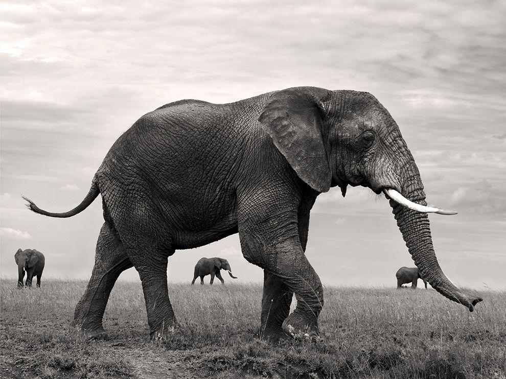 草原上的大象